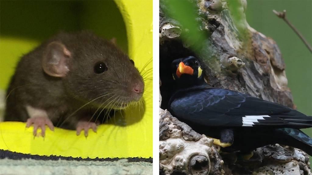 Rattenclub / tierische Auszeichnung
