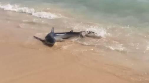 Verletzter Blauhai schwimmt an Strand von Mallorca