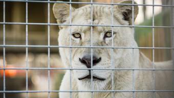 Die Löwen des Circus Royal tigern in Baden druchs Aussengehege.