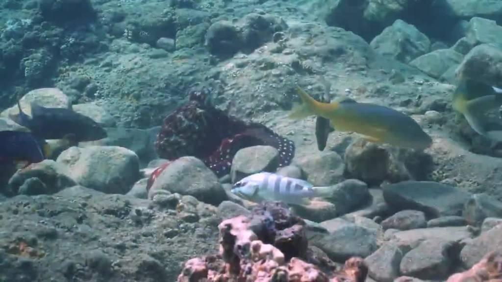 Oktopusse sind Ozean-Rowdys, die Fische nur aus Bosheit boxen