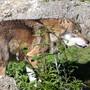 Der Wolf kann gemäss der Stiftung Bergwaldprojekt dazu beitragen, Schäden im Wald zu reduzieren.
