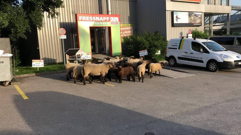 Die ausgebüxten Schafe hatten wohl Hunger.
