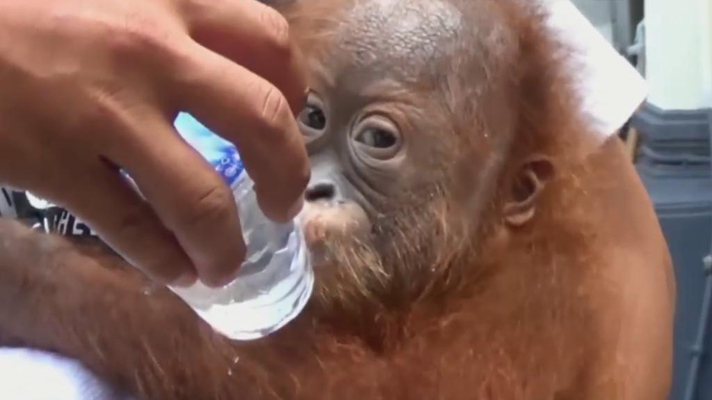 Orang-Utan-Baby an Flughafen vor Schmuggel gerettet