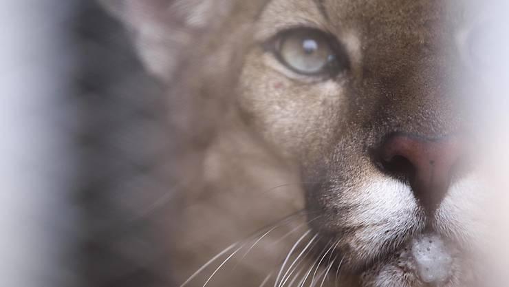 Mit GPS getrackt: Ein Puma hat bei Los Angeles mehrmals die Autobahnen unterquert. In den schweren Waldbränden ist er verendet. (Symbolbild)