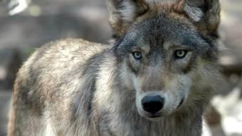 In Graubünden ist schon der zweite Jungwolf in felsigem Gelände abgestürzt - fast am gleichen Ort wie der erste.