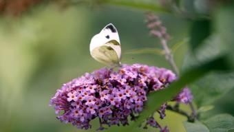 """Der Sommerflieder ist bei Schmetterlingen und Insekten zwar sehr beliebt, ist aber ein invasiver Neophyt, eine """"eingewanderte"""" Pflanze, welche die einheimische Flora bedrängt. Dass sie sich so gut verbreiten konnte, liegt daran, dass sie als Zierpflanze genutzt wurde, sagt eine neue Studie. (Archiv)"""