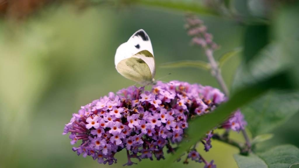 Der Sommerflieder ist bei Schmetterlingen und Insekten zwar sehr beliebt, ist aber ein invasiver Neophyt, eine «eingewanderte» Pflanze, welche die einheimische Flora bedrängt. Dass sie sich so gut verbreiten konnte, liegt daran, dass sie als Zierpflanze genutzt wurde, sagt eine neue Studie. (Archiv)