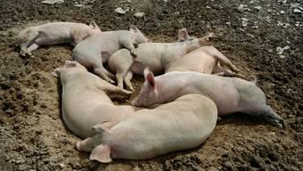 «Nicht marktkonform»: Sollten diese Schweine zu einer Baselbieter Spezialität verarbeitet werden, dürfte die entsprechende Metzgerei gemäss FDP und Antijurapark-Fraktion der SVP nicht von kantonaler Förderung profitieren. (wal)