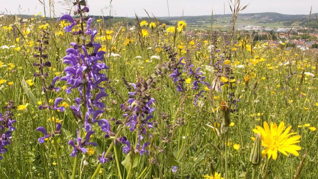 Glatthaferwiesen sind sehr reich an Pflanzenarten und werden deshalb auch von vielen Insektenarten genutzt.