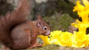 Rotes Eichhörnchen mit von Lepra verursachten Schäden an Ohr und Schnauze.