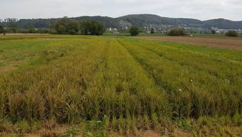 Bei der Schwarz AG (hier ein Feld in Gippingen) konzentriert man sich im Vergleich zu anderen Schweizer Projekten auf den Trockenreisanbau.