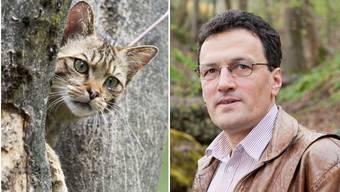 FDP-Grossrat Johannes Jenny stört sich an verwilderten Katzen, da sie Vögel und Reptilien jagen. Diese Wildkatze stammt aus dem Wildpark Goldau. (Symbolbild)