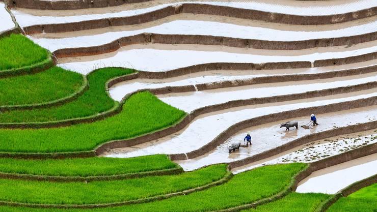 Herkömmlicher Reisanbau mit über Monate im Wasser stehenden Feldern wie hier in Vietnam produziert viel Methan.