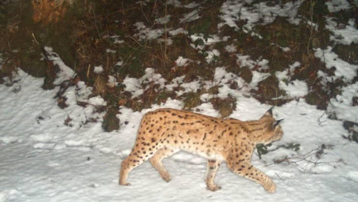 Um die Luchspopulation in der Nordostschweiz zu erheben, wurden an 70 Standorten Fotofallen aufgestellt. (St. Galler Amt für Natur, Jagd und Fischerei)