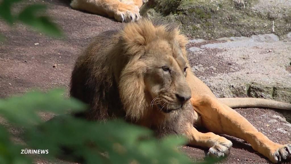 Zoo Zürich: Löwe Radja stirbt im Alter von 16 Jahren