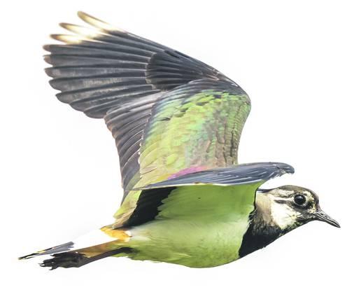 Stark gefährdet: der Kiebitz Den gelb gefiederten Vogel sah man früher häufiger. Bild: Getty Images