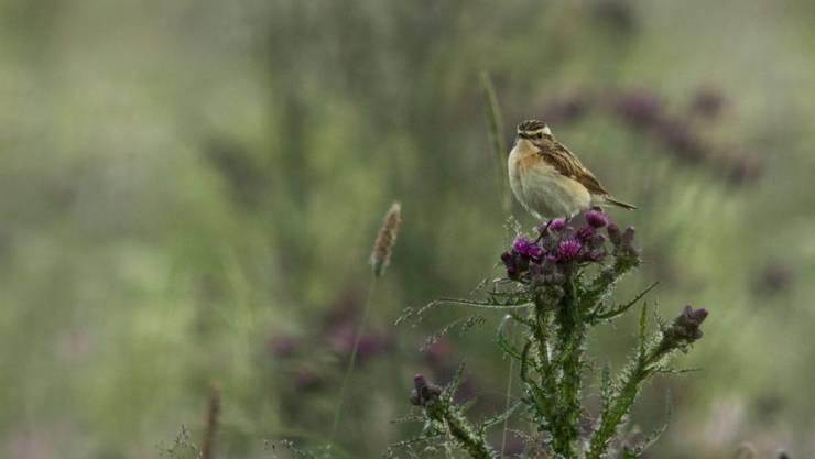 Insbesondere im Kulturland lebende Arten wie das Braunkehlchen zeigen einen dramatischen Abwärtstrend.