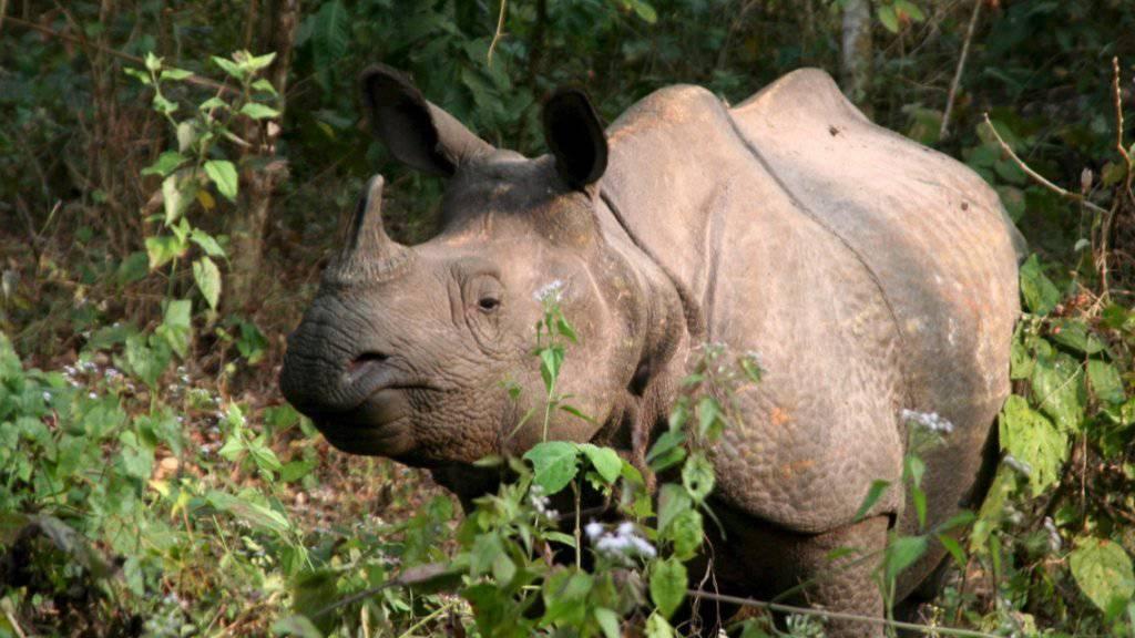 Ein Nashorn-Wilderer wurde in Südafrika zu 20 Jahren Haft verurteilt. Bei ihm wurden ein Gewehr, Munition, eine Säge und frisch abgesägte Rhinozeroshörner gefunden. (Themenbild)