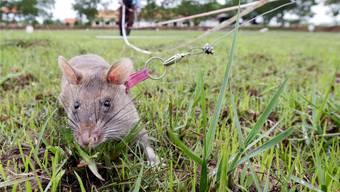 Riesenratten spüren Landminen auf: Ein Tag im Leben einer angehenden «Hero Rat» in Mosambik