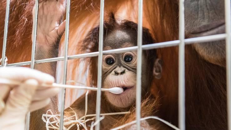 Im Rahmen des Erhaltungsprogramms überprüft der Zoo Basel die Vaterschaft bei Orang-Utan-Mädchen Padma.