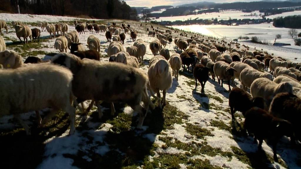 Unterwegs mit 420 Schafen durch das schneebedeckte Zürich