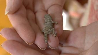 Der kleine Gecko hat die Reise in der Verpackung gut geschützt überstanden.