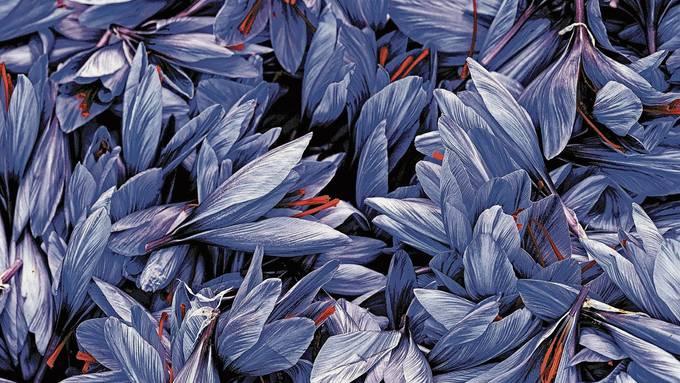 Blüht Mitte Oktober nur wenige Tage: der lila Safrankrokus mit seinen typischen roten Narben.