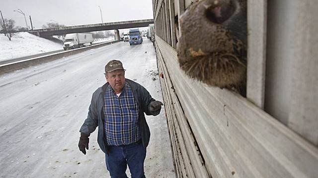 Ein Viehtransporter steckt auf einem Highway nahe Atlanta fest