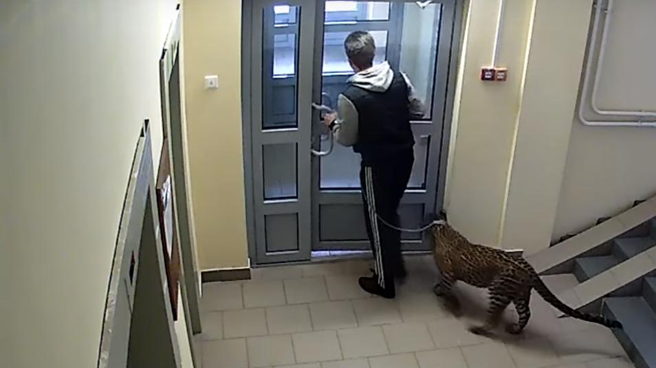 Ein Russe geht mit seinem Leoparden spazieren.