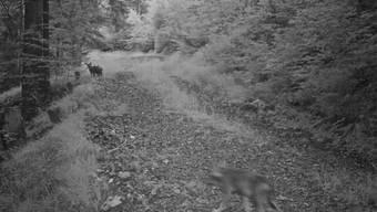 In die Fotofalle getappt: Zwar etwas unscharf, aber beim genauen Hinsehen sind Jungwölfe zu erkennen.