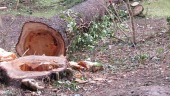 In Brugg müssen 55 Bäume weg.