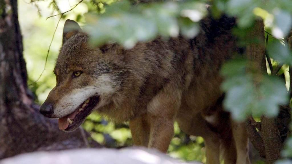 Der überfahrene Wolf musste vom Wildhüter erlegt werden. (Symbolbild)