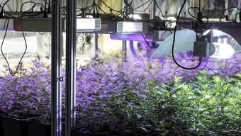 Indoor-Hanf-Produktion in Entlebuch: Die Firma Organic Concept AG hat eine Anlage entwickelt, in der mit gezieltem und dosiertem Lichteinsatz Energie beim Anbau der Pflanzen gespart werden kann.