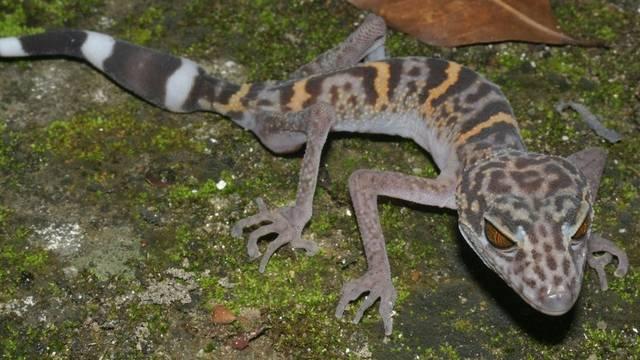Leoparden-Gecko in Vietnam