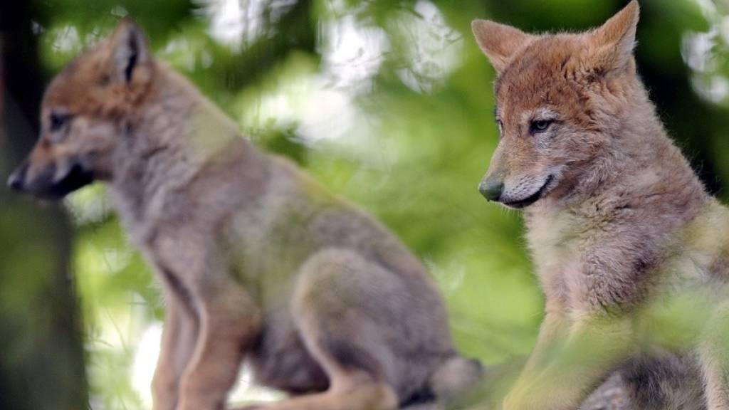 Fünf Wolfswelpen im Waadtländer Jura geboren
