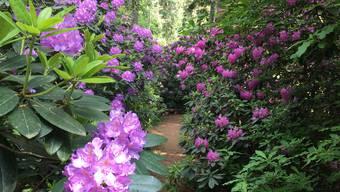 Das Rhododendron-Paradies von Leuzigen