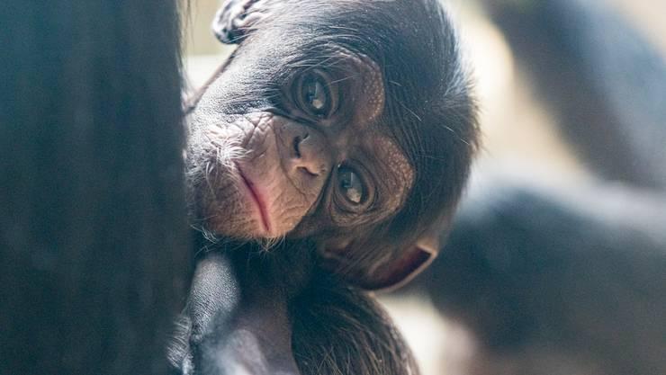 Quebo - Neue Schimpansen im Basler Zoo, Zolli