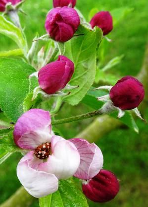 Marienkäferpaar in Apfelblüte: romantisches Plätzchen für die Liebe