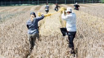 Getreide-Ernte auf dem Gentech-Versuchsfeld der Forschungsanstalt Agroscope in Zürich Affoltern. (Archivbild)