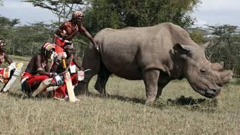 Last Male Standing: Sudan, das verstorbene letzte Männchen der Unterart Nördliches Breitmaulnashorn, zusammen mit Mitgliedern des Maasai Cricket Warriors Teams. Eizellen von Sudans Tochter und Enkelin wurden nun mit seinem Sperma befruchtet, um eine neue Population zu gründen. (Archivbild)