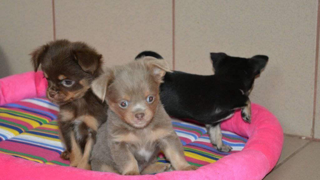 Drei von über 50: Die Zollfahndung Schaffhausen lässt Hundeschmuggel auffliegen.