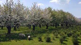 Baselland im Blütenzauber (Bluescht)