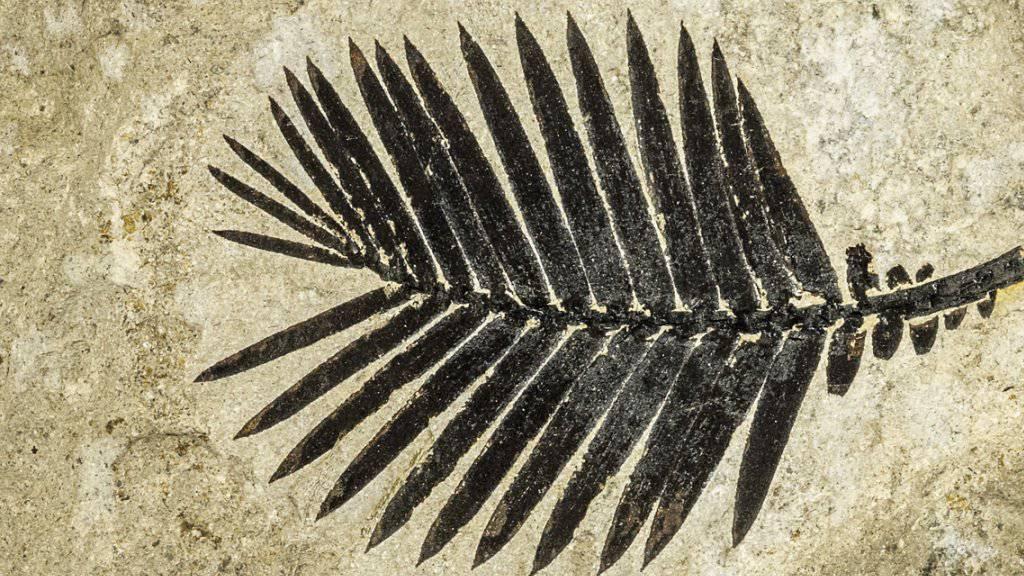 Blattwedel eines Palmfarns, 145 Millionen Jahre alt.