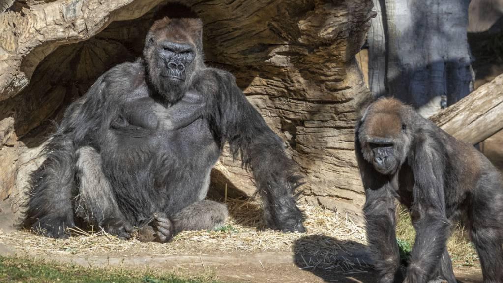 Mehrere Gorillas im San Diego Zoo Safari Park wurden positiv auf das Coronavirus getestet. Es wird vermutet, dass sich die Tiere trotz Sicherheitsvorkehrungen des Zoos bei einem asymptomatischen Mitarbeiter angesteckt haben.