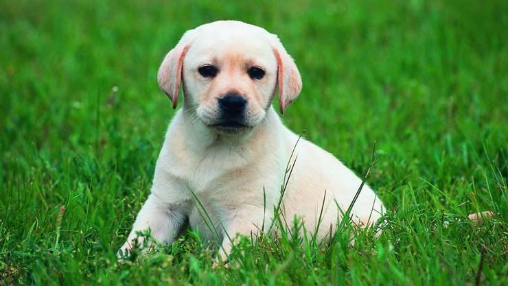 Ein Labrador hatte eine Hundetrainerin umgerannt. Sier erlitt mehrere Frakturen und erhoffte sich nun Schadenersatz. (Symbolbild)