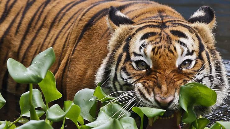 Ähnlicher als gedacht: Es gibt nur zwei Unterarten von Tigern, was ihren Schutz erleichtert. Im Bild ein Malaysia-Tiger im National-Zoo in Kuala Lumpur, Malaysia.