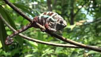 Seit Juni 2003 erstreckt sich auf 11'000 Quadratmetern der Masoala Regenwald des Zoos Zürich. Bei Temperaturen von über 30 Grad und einer Luftfeuchtigkeit von 90 Prozent tummeln sich hier Säugetiere, Vögel, Reptilien, Amphibien, Fische, Insekten und Spinnen. Im Video spricht der Zoo-Direktor Alex Rübel über die Eigenheiten seiner Schützlinge.
