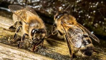 Langsam bedrohte Tiere: Bienen leiden unter vielen Krankheiten. (Archiv)