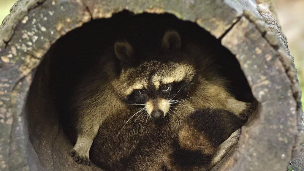 In der US-Kleinstadt Milton haben offenbar betrunkene Waschbären bei Bürgern Angst vor Tollwut heraufbeschworen. (Symbolbild)