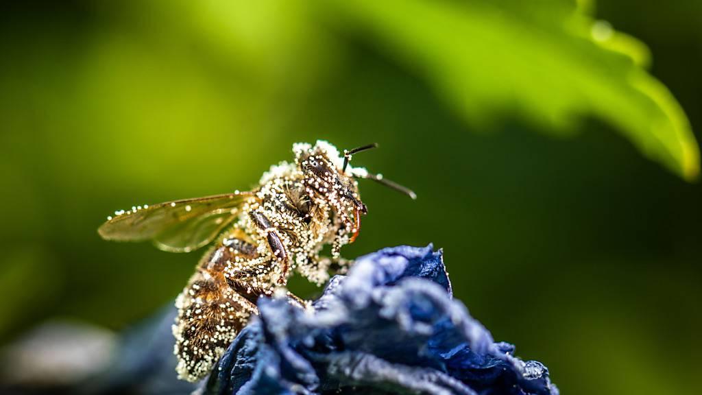 Pollen-bedeckte Biene. (Symbolbild)
